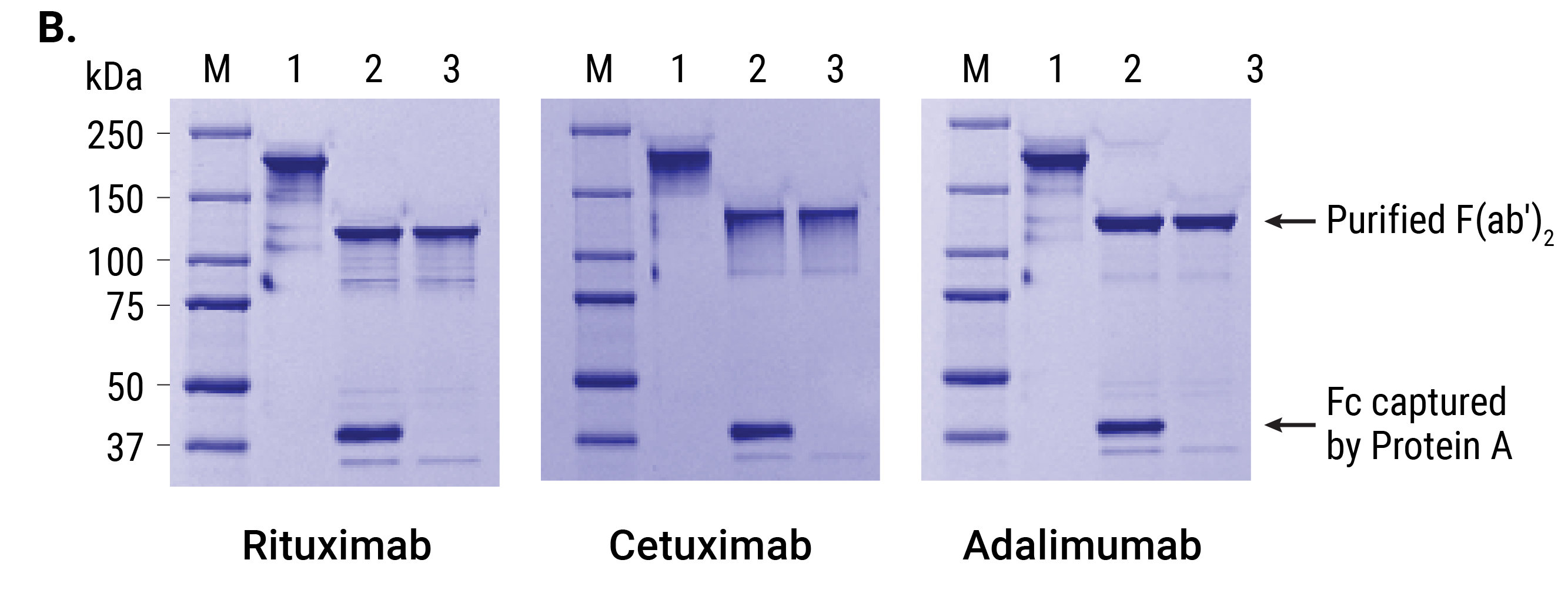 Ides protease and idez protease panel b gels demonstrating separation of fab2 and fc fragments from three antibodies fc fragments were captured using magne protein a beads xflitez Gallery